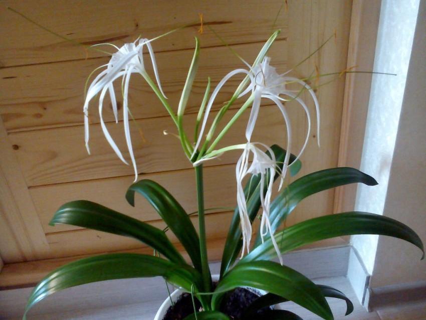 Гименокаллис - посадка и уход за цветком в домашних условиях видео