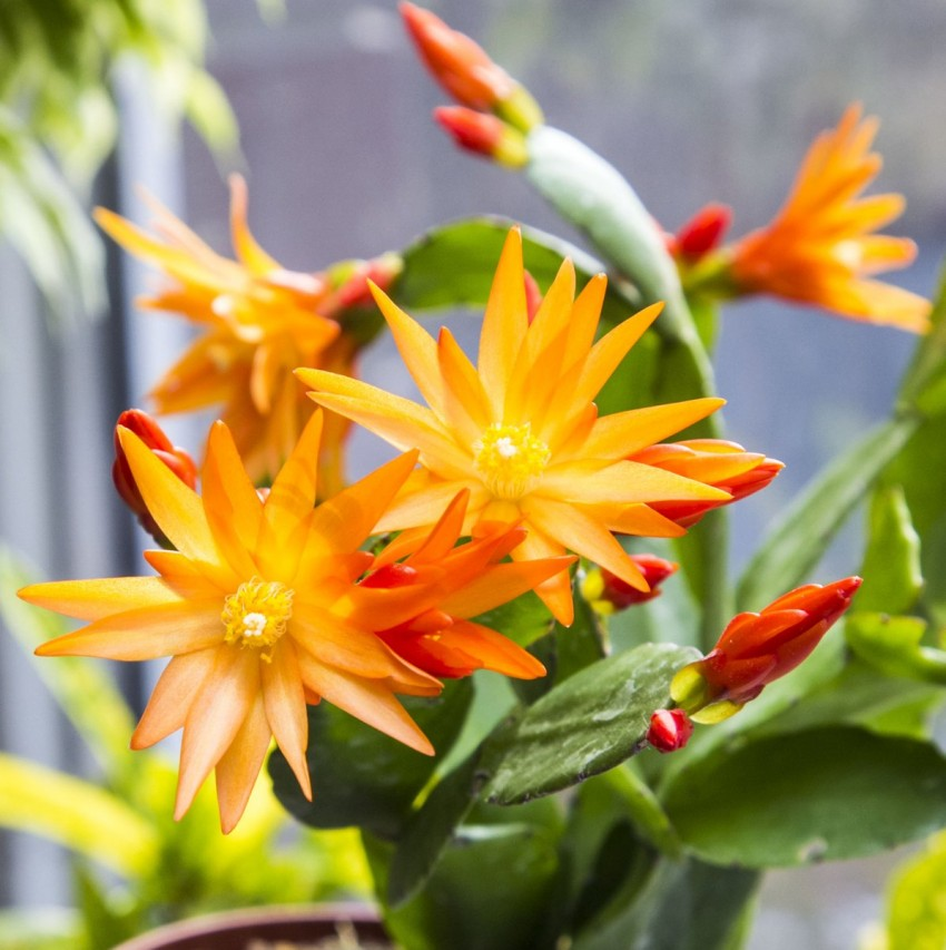 Рипсалидопсис разновидности кактусов особенности ухода и способы размножения