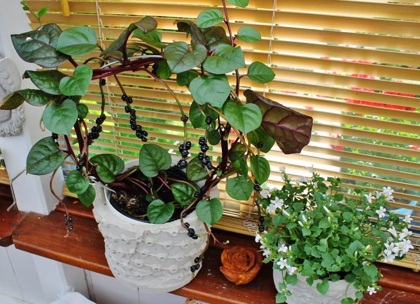 Растение базелла заморский гость: польза и вред, выращивание из семян